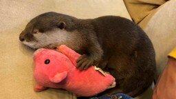 Смотреть Выдра спит со свинкой