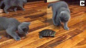 Котята против черепахи смотреть видео прикол - 2:48