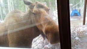 Лось за окном