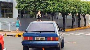 Петух на крыше машины смотреть видео прикол - 0:15