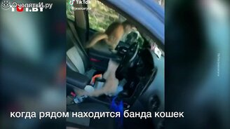 Коты - захватчики автомобиля смотреть видео прикол - 0:20