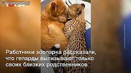 Маленький гепард вылизывает собаку смотреть видео прикол - 0:33