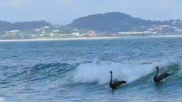 Чёрные лебеди на волнах смотреть видео прикол - 1:22