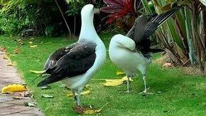 Танец альбатросов