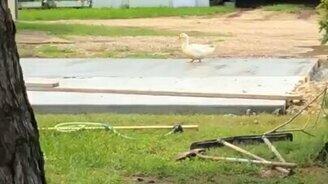 Утка испытывает дорожки смотреть видео - 0:23