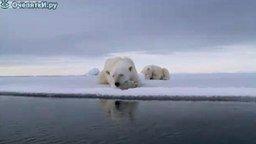 Смотреть Белый медведь и камера