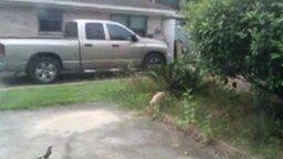 Смотреть Раздразнила кошку