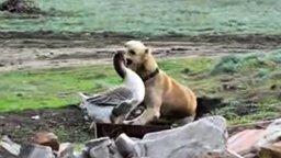 Смотреть Собака и гусь