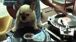 Пёс ди-джей смотреть видео - 0:41