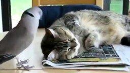 Голубь будит кота смотреть видео прикол - 1:26