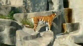 Смотреть Нападение на тигра