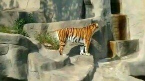 Нападение на тигра смотреть видео прикол - 0:32