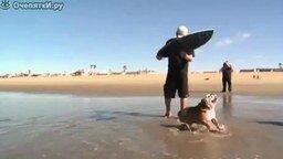 Смотреть Бульдог-серфингист