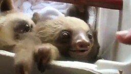 Смотреть Маленький ленивец