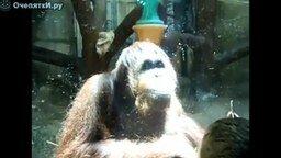 Орангутан плюётся смотреть видео прикол - 0:17