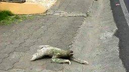 Ленивец переходит дорогу смотреть видео прикол - 1:20