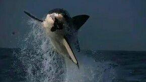 Смотреть Белая акула в прыжке