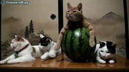 Смотреть Кот на арбузе