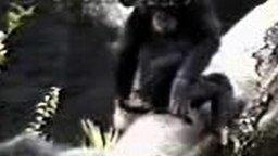 Очумевшая шимпанзе
