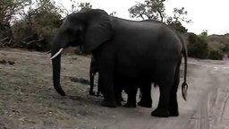 Слонёнок чихнул смотреть видео прикол - 0:26
